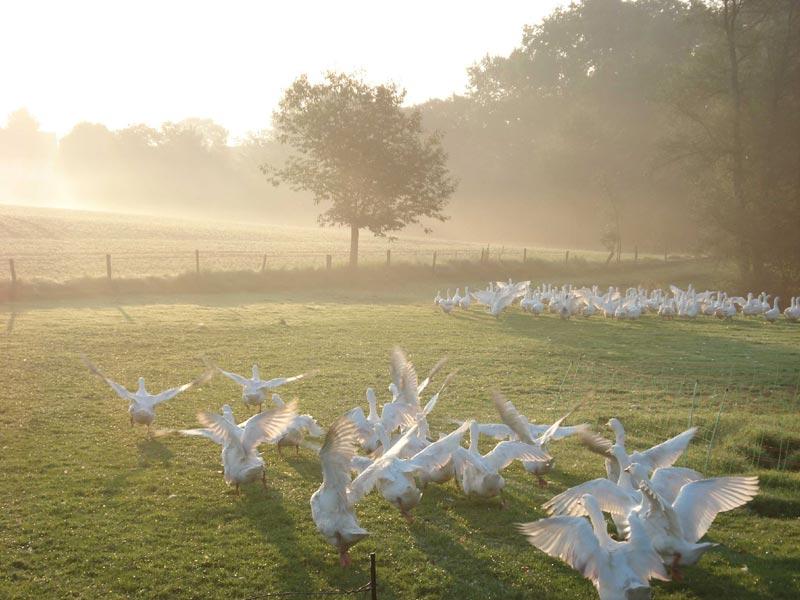 Diervriendelijk ganzendons
