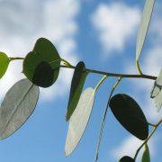 bladeren eucalyptusboom voor vegan dekbed