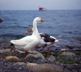 verschil eendendons ganzendons