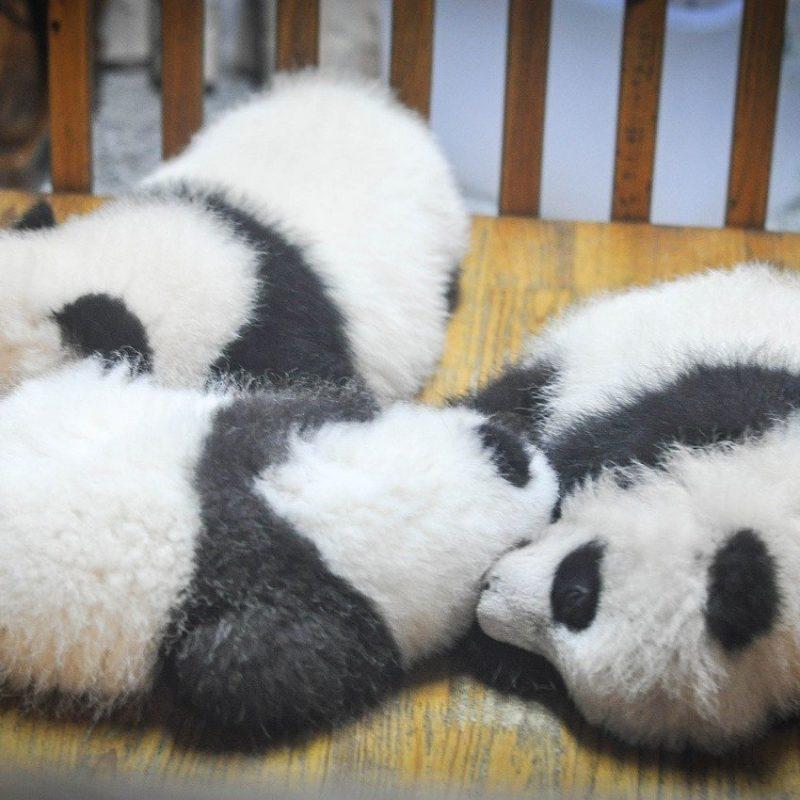panda-slapend-800x800