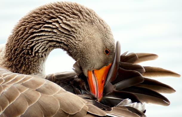 diervriendelijke-ganzendonzen-dekbedden